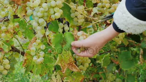 Female hands cut grapes. Ripe white grapes in the vineyard around Lake Ontario
