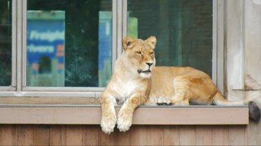 Dospělý Lev sedící na parapetu staré budovy