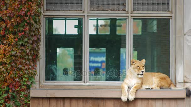 Adult lion sitting on the windowsill of an old building.