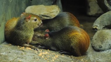 The female Brazilian Agouti feeds the young with milk