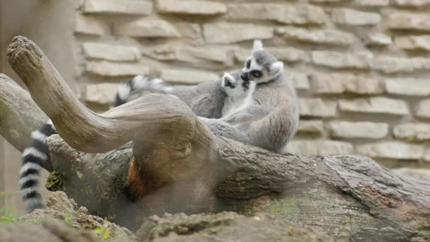 Two Ring-tailed Lemur. Couple of lemurs gently looks after each other