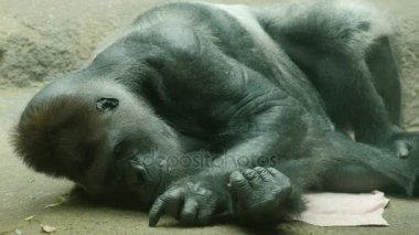 Big male gorilla lying on a towel. Picking his floor