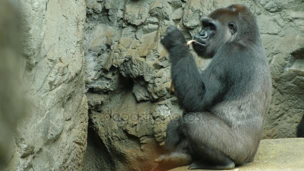 Most adult gorilla eats something. On the rocky background