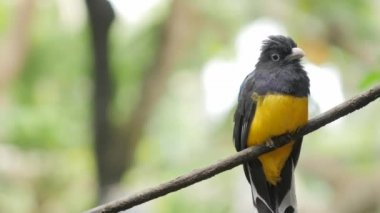 Green-backed Trogan bird. Exotic animal