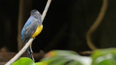 Zöldkabátos Troganon madár. Egzotikus állat