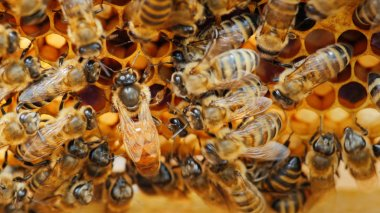 The queen bee surrounded by bees: that support and feed