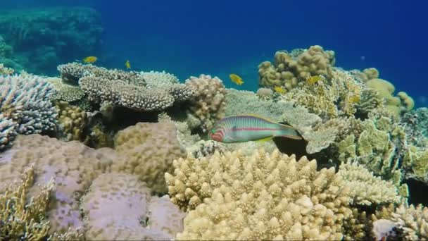 A Variegated Klunzingers Wrasse fish floats on the background of magnificent corals in the Red Sea