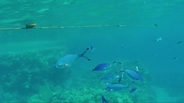 ein Schwarm roter Meeresfüsilier-Fische, der in den Sonnenstrahlen nahe der Oberfläche schwimmt