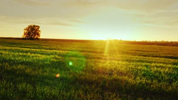 Beautiful scenery - green meadow at sunset with a lonely tree on the horizon. An Epic Rural View. Steadicam shot