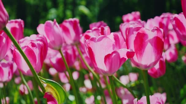 Beautiful pink tulips sway in the wind. Petals of flowers light the sun