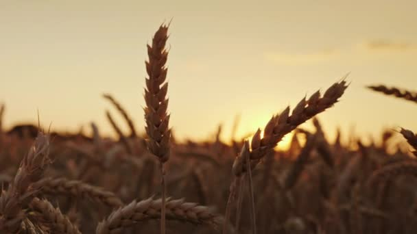 Beautiful wheat spike at sunset. High-quality selected wheat of elite grades