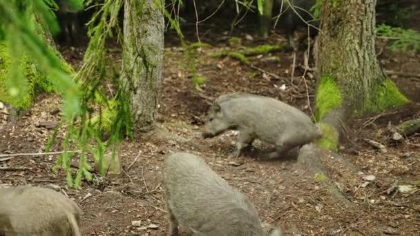 Srandovní zvířata - malý divočák škrábání prdel o strom