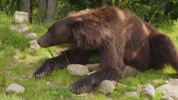 Barna medve nyugszik egy tisztás. Erdő a háttérben. Vadon élő állatok az erdő