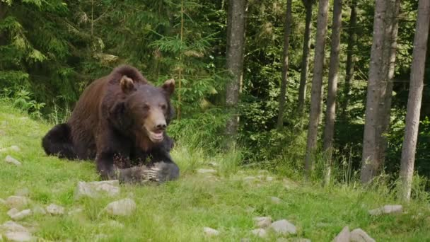 A large brown bear rests on a glade. Forest in the background. Wild life of the forest