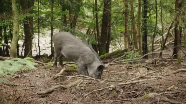 Vaddisznó ás a földre az orr. Élelmiszer-erdőben keres
