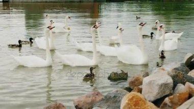 A nyáj a hattyúk, a tó, az élelmiszer, az a turistát várnak. Balatonon