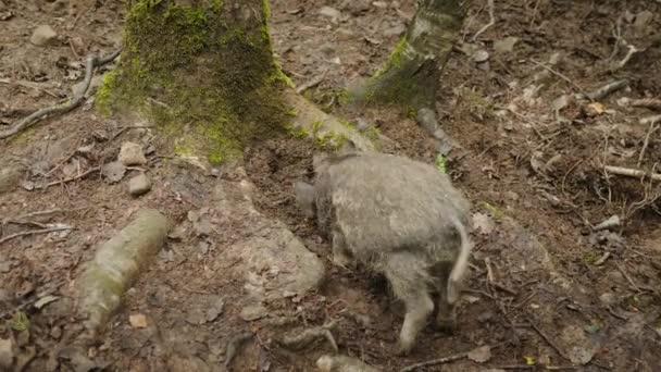 Legrační divočák kope na zemi s jeho nos, zadní pohled. Vtipná zvířátka