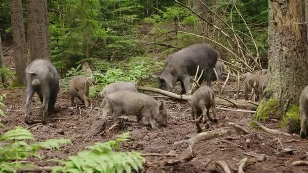 Stádo divokých prasat je pastva v lese. Divoký život lesa