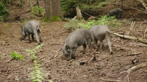 Vadon élő állatok az erdő. A csorda vaddisznó táplálja az erdő.