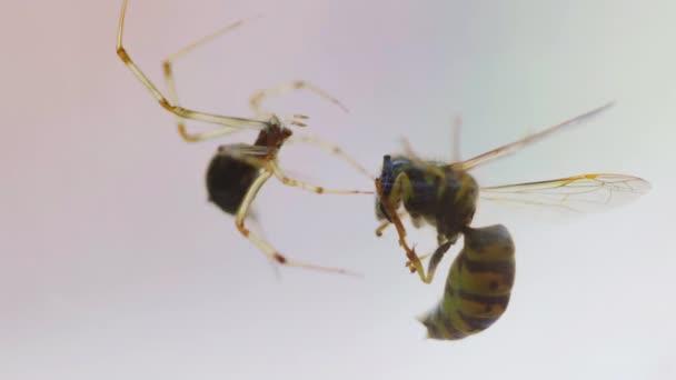 Die Spinne verfing sich in einem Spinnennetz. sitzt in der Nähe des Opfers auf einem Spinnnetz