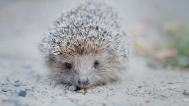 A small defenseless hedgehog on the asphalt. Looks at the camera, you can clearly see his face and nose