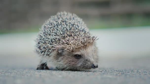Hedgehog on the asphalt. Video with shallow depth of field. Prickly, but unremunerated