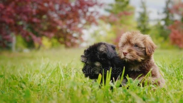 Dvě roztomilé štěňátka sedí vedle sebe na zeleném trávníku, při pohledu na fotoaparát