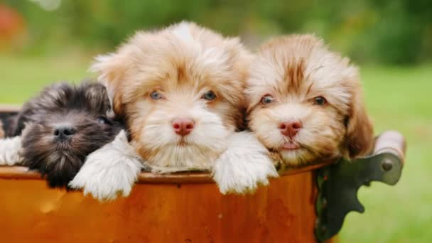 Several puppies look out of a copper bucket. Bounty of happiness