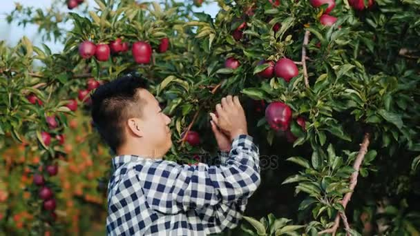 A Chinese man tears off a big red apple from the apple tree and bites it