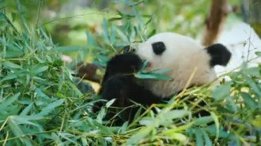 Big panda eats leaves, close-up