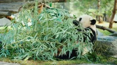 Big panda sits on the ground, eats green branches