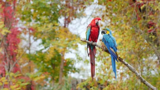 Dvě světlé papoušci sedí na větvi. Ara arakanga