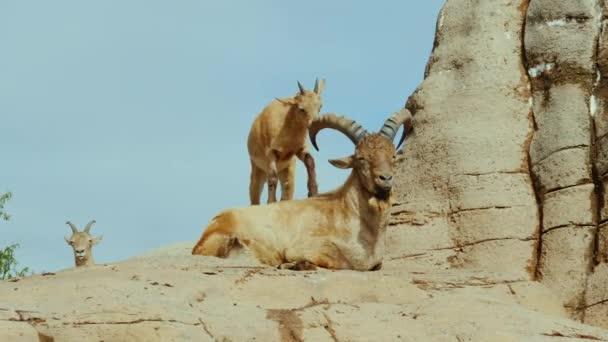 eine lustige kleine Ziege spielt mit einem großen Tier - es schlägt ihm mit den Hufen auf die Hörner. Lustiges Tierkonzept