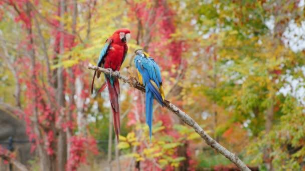 Exotičtí ptáci. Dvě světlé papoušci sedí na větvi. Ara arakanga