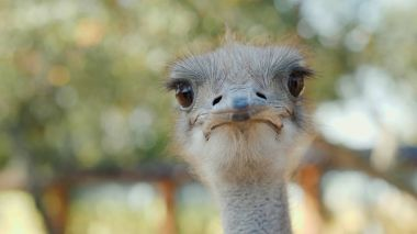 Portrait of a cool ostrich. Photo with shallow depth of field