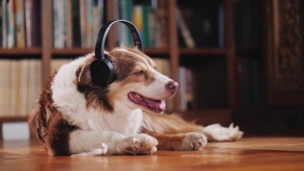 Pes poslouchá hudbu ve sluchátkách, leží na podlaze v knihovně