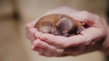 A newborn puppy lies in the palms of the hands. Protection and care concept