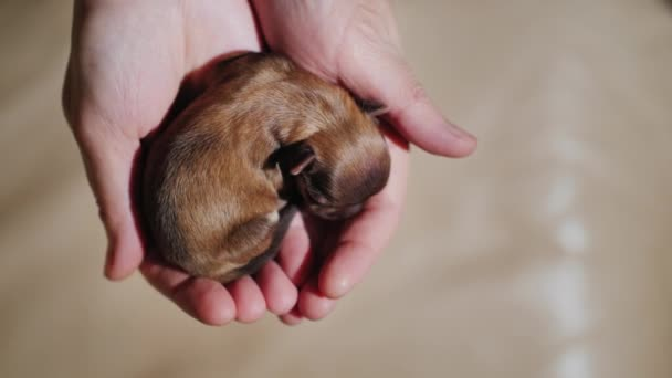 Pohled shora: novorozené štěně spočívá v dlaních rukou. Koncepce ochrany a péče