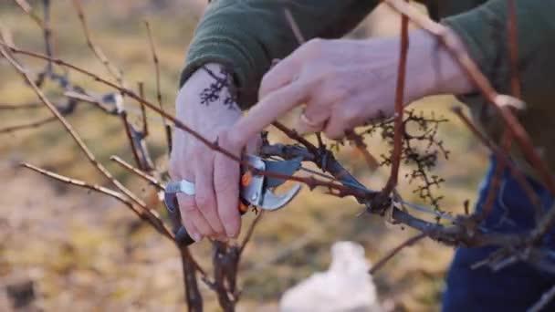 Szőlő metszése a tél végén vagy kora tavasszal, zár-megjelöl szemcsésedik