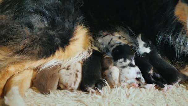 Tappeto Morbido Per Cani : Un grande cane da pastore nutre i cuccioli si trova su un morbido