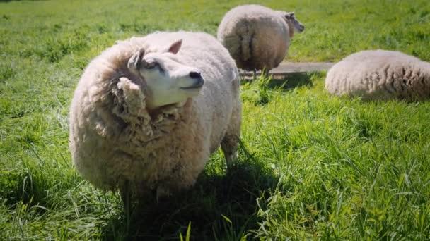 Ovce jíst trávu na zelené louce
