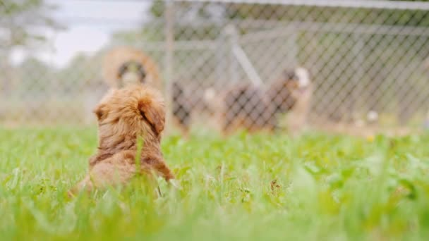 A small puppy is sitting on the lawn, looking at the big dogs outside the fence. Back view