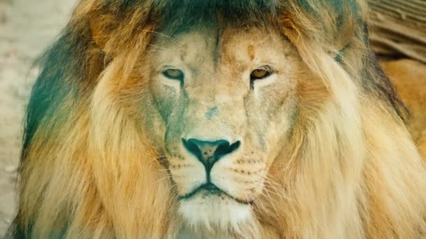 Portrait of a formidable African predator - a lion