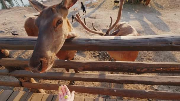 Dítě krmí jelena na farmě