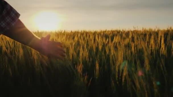 Farmers palm over ripe wheat ears