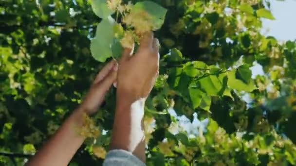 Herbalist hands pick pluck linden flowers to make healthy healing tea