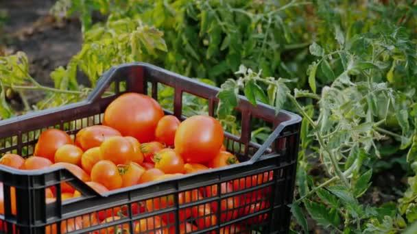 Schachtel mit Tomaten auf dem Feld
