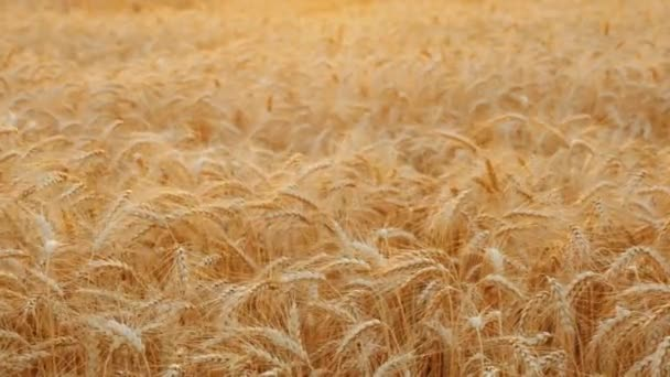 Harvest bread - a field of ripe wheat on a sunny day