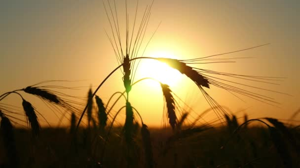 Silhouette of wheat in a field on a sunset background. Cultivation and harvesting. The field of golden wheat swaying. Peaceful scene