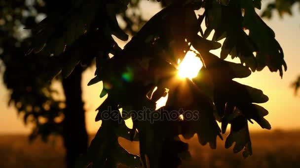 Oak leaves close-up on tree branches in a forest against a sunset background. The suns rays pass through the leaves of the oak.